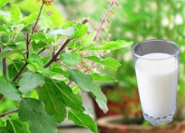 तुलसी वाला दूध