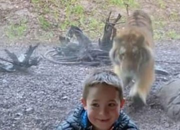 बच्चे का शिकार करने आया बाघ