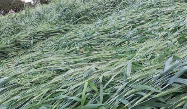 किसानों की फसलें चौपट
