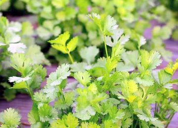 green coriander taste and food decoration