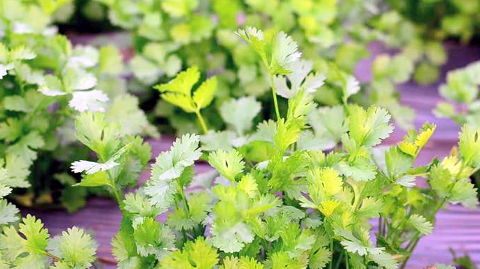green coriander taste and food decoration