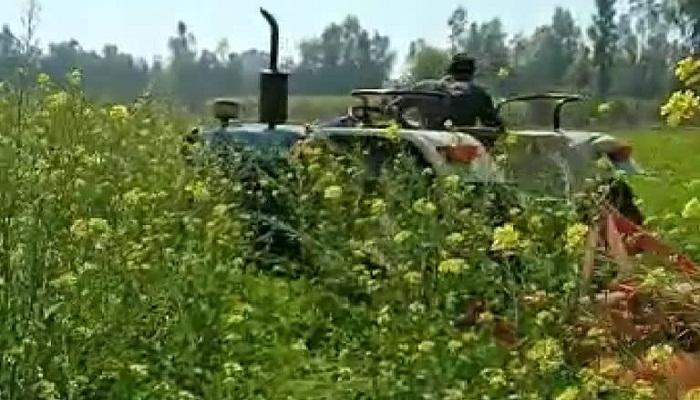 farmer destroyed 8 bigha mustard